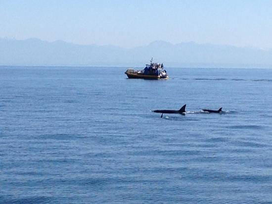 Steveston Seabreeze Adventures & Whale Watching: orca mom and two smaller ones near our boat