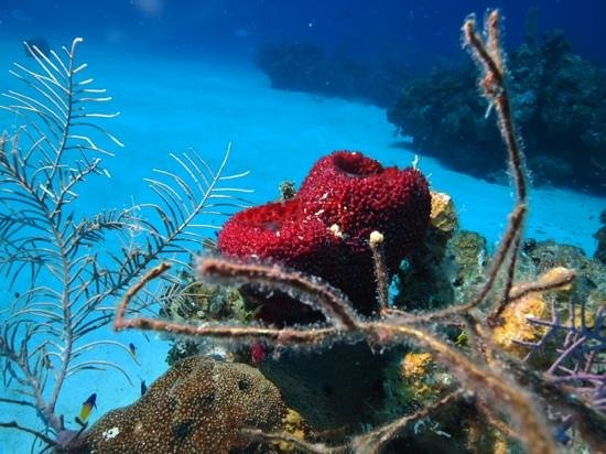 Reef Divers Cayman Islands: strawberry sponger