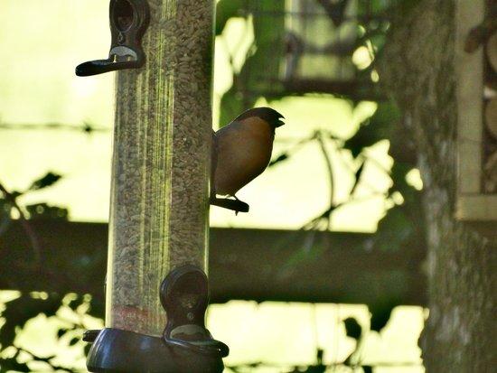 Kendal, UK: Bullfinch