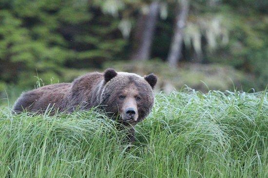 Great Bear Lodge: Male grizzy bear