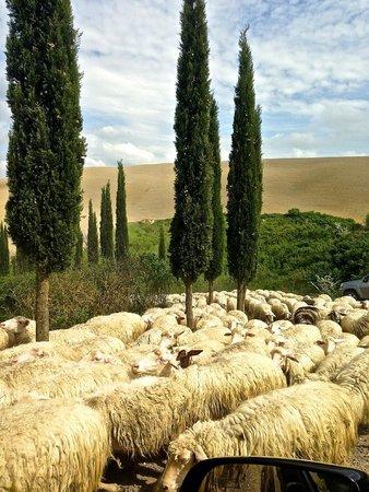 Albergo di Murlo: Pecore a Suvignano