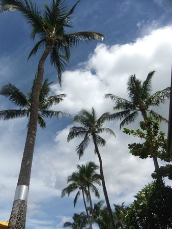 Kihei Kai Oceanfront Condos: Coconut trees at Kihei Kai Condos