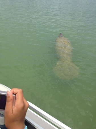 Dreamlander Tours: One of two manatee sightings