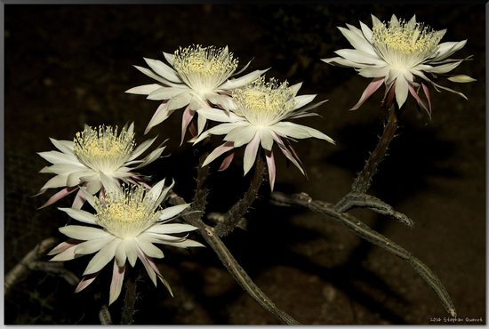 Tohono Chul: Queen of the Night, the night-blooming cereus Peniocereus greggii