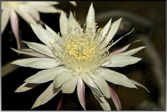 Tohono Chul Park : Queen of the Night, the night-blooming cereus Peniocereus greggii