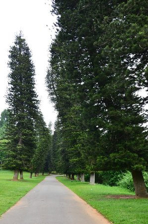 Royal Botanical Gardens: Сосны