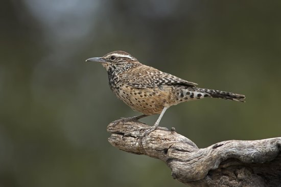 Battiste's Bed, Breakfast & Birds: Cactus Wren