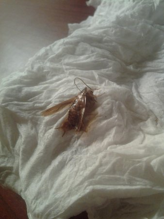 Baymont Inn & Suites Mandan Bismarck Area : I found this roach crawling on my suitcase