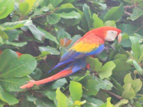 Agua Dulce Beach Resort: Lapa comiendo en un almendro