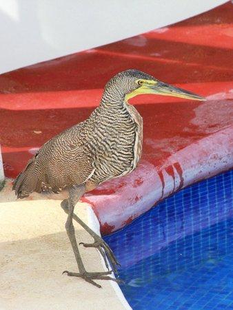 Agua Dulce Beach Resort: Garza Tigre en la píscina