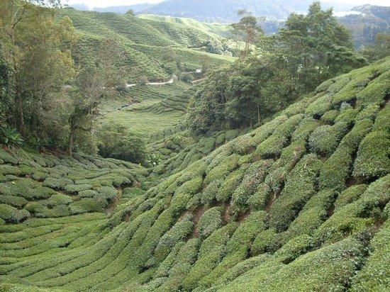 Cameron Highlands: Чайные плантации, они там везде