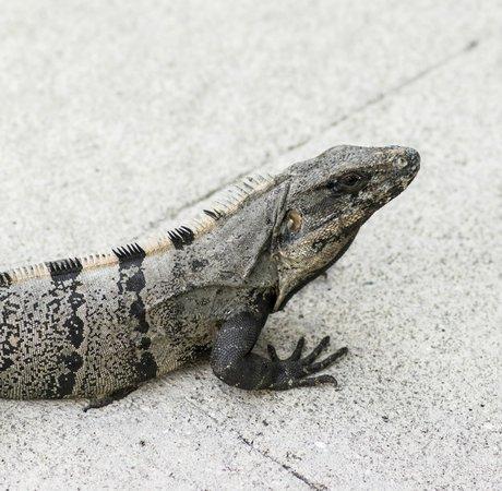 Grand Bahia Principe Coba: A Nice Iguana