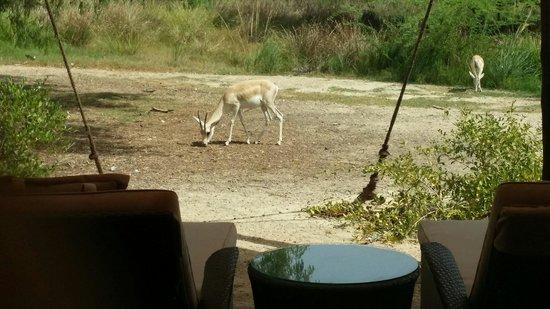 Anantara Sir Bani Yas Island Al Sahel Villa Resort: Animals all around