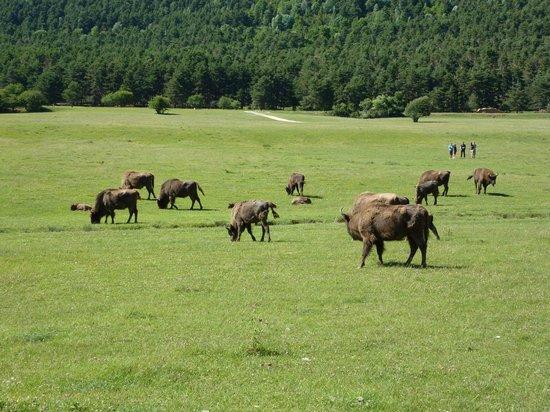 Reserve Biologique des Monts d'Azur : Une belle photo des bisons :)