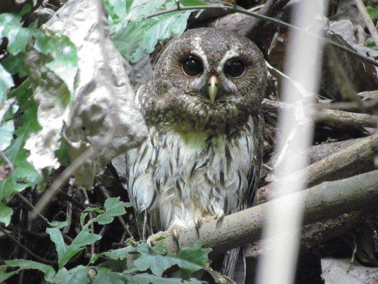Chocoyero-El Brujo Natural Reserve: A young owl peers out at us