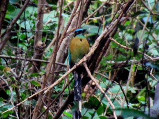 Chocoyero-El Brujo Natural Reserve: Blue Crowned Motmot