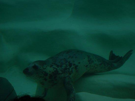 Aquarium de Biarritz : otarie