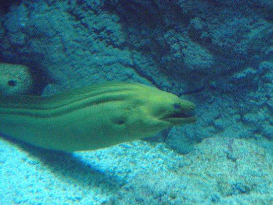 Aquarium de Biarritz : murène
