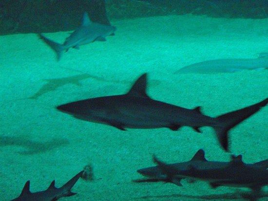 Aquarium de Biarritz : requins