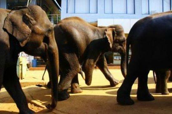 Hotel Elephant Park: ホテルの前を歩くゾウ