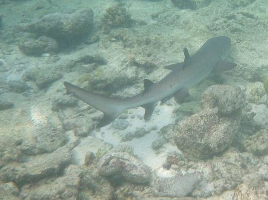Ellaidhoo Maldives by Cinnamon : shark