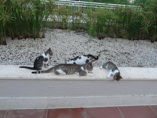 Voyage Belek Golf & Spa: family of cats who live on the complex, v popular with the kids