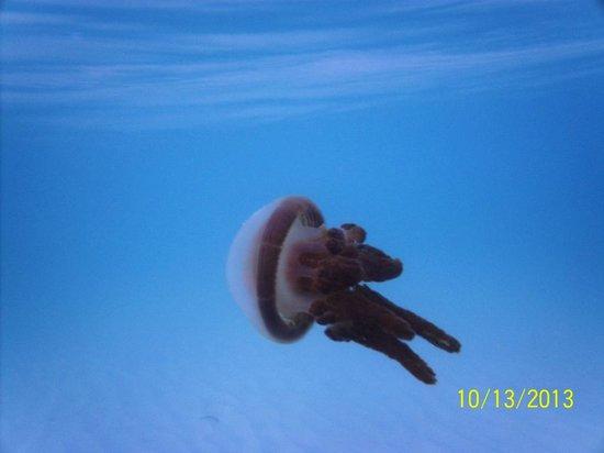 Beach Placid Resort, Restaurant and Bar: Stingless jelly fish
