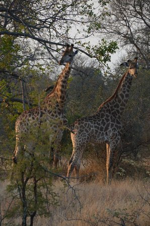 Gomo Gomo Game Lodge : Les girafes