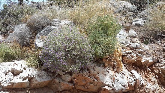 Filion Suites Resort & Spa : fragrant thyme growing wild