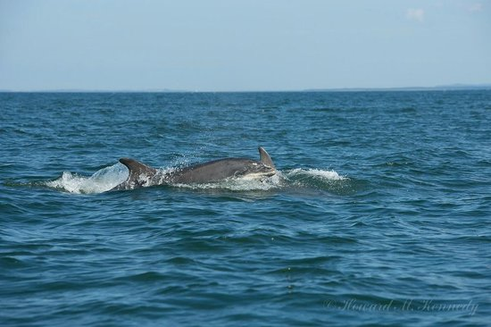 Bottlenose Dolphin swimming alongside the Ecoventures rib