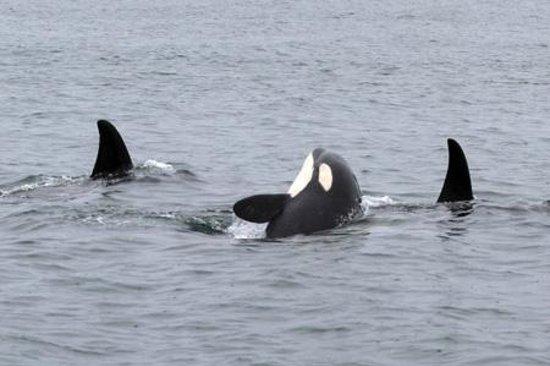 Orca Enterprises: Orcas
