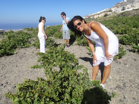 Santorini Wine Tour: At the vineyard tasting grapes