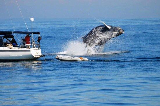 Humpback Calf Breaching Picture Of Cape Ann Whale Watch