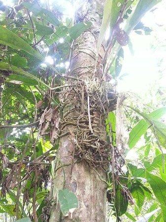 Libertad Jungle Lodge : bromeliads growing on a large tree