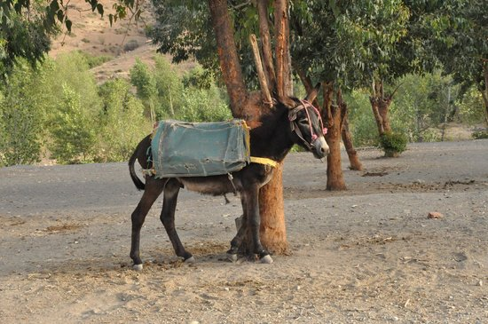 Berber Cultural Center: The donkey