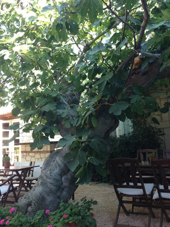 Incirliev Alacati: The 100+ year-old fig tree