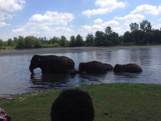 African Lion Safari: Elephant swim