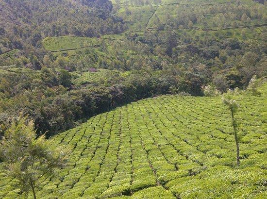 Misty Mountain Resort : Tea gardens seen from the room
