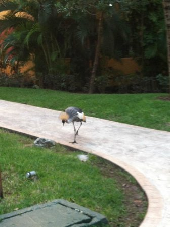 Iberostar Tucan Hotel: Birds walking all around the property