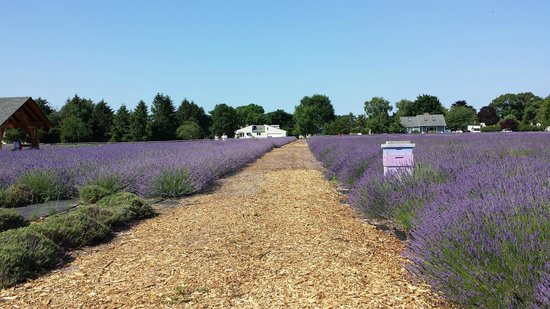 Lavender By The Bay: French Lavender in full bloom