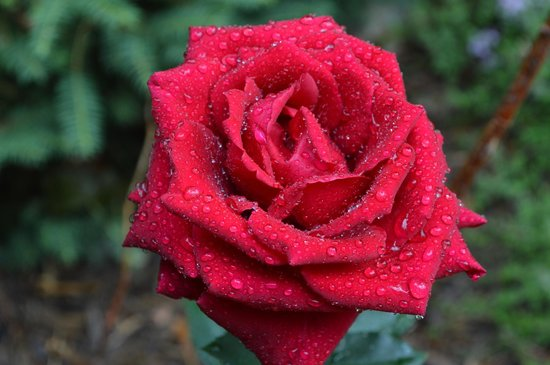 Valle Crucis Bed & Breakfast: Rose after an early morning rain