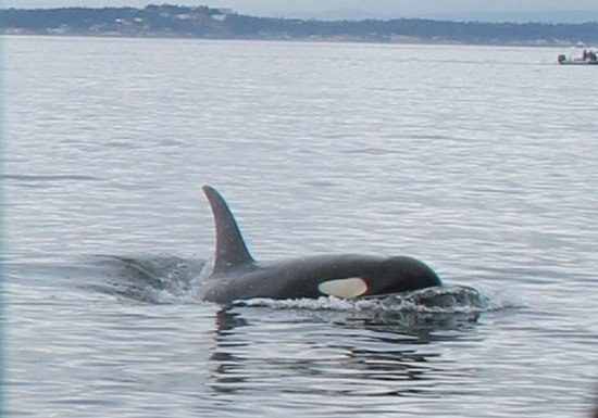 Wild Whales Vancouver: Orca Whale