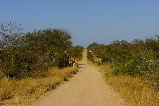 Kambaku Safari Lodge: Girafes