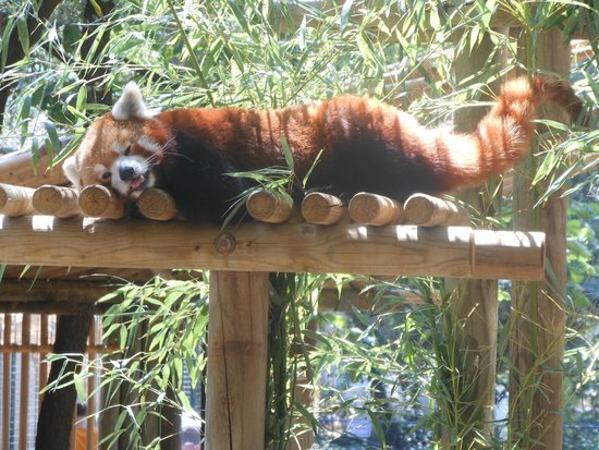 Zoo de la Palmyre : Le Panda Roux, mon coup de cœur !