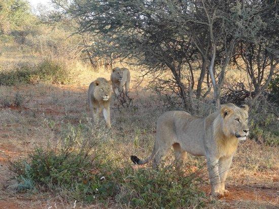 Madikwe Safari Lodge : lions