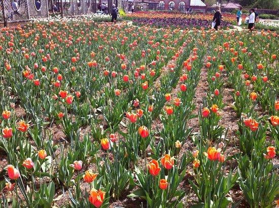 Biltmore Estate : Tulips