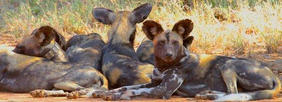 Loisaba Star Beds : African wild dogs at Loisaba