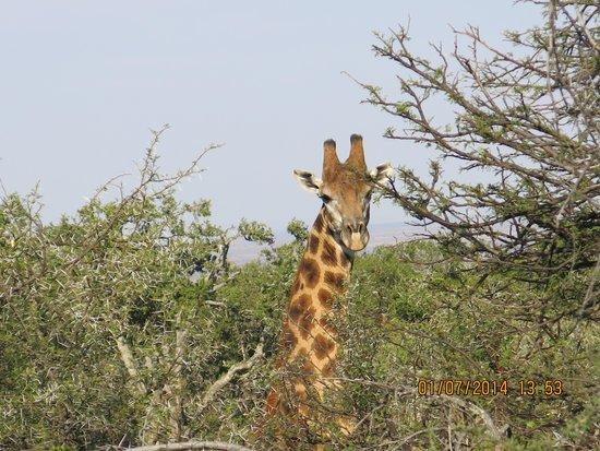 Samara Private Game Reserve: Giraffe