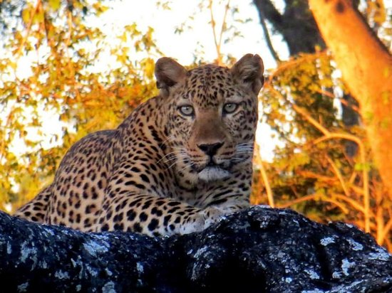 Mabuya Camp: Leopard South Luangwa