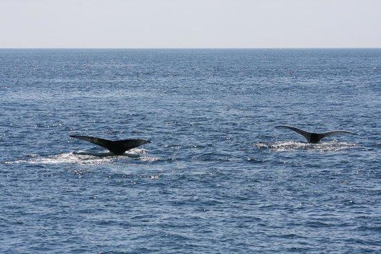 Cape Ann Whale Watch: 2 Whale's flukes